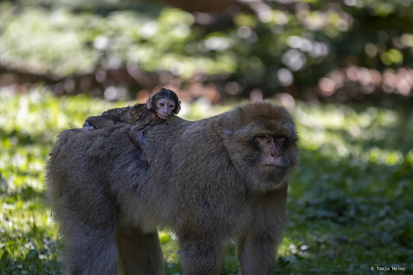 barbary macaque mother with a baby