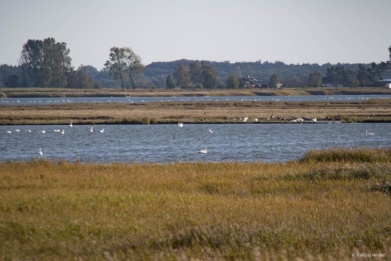 Mute swans around the island Große Kirr