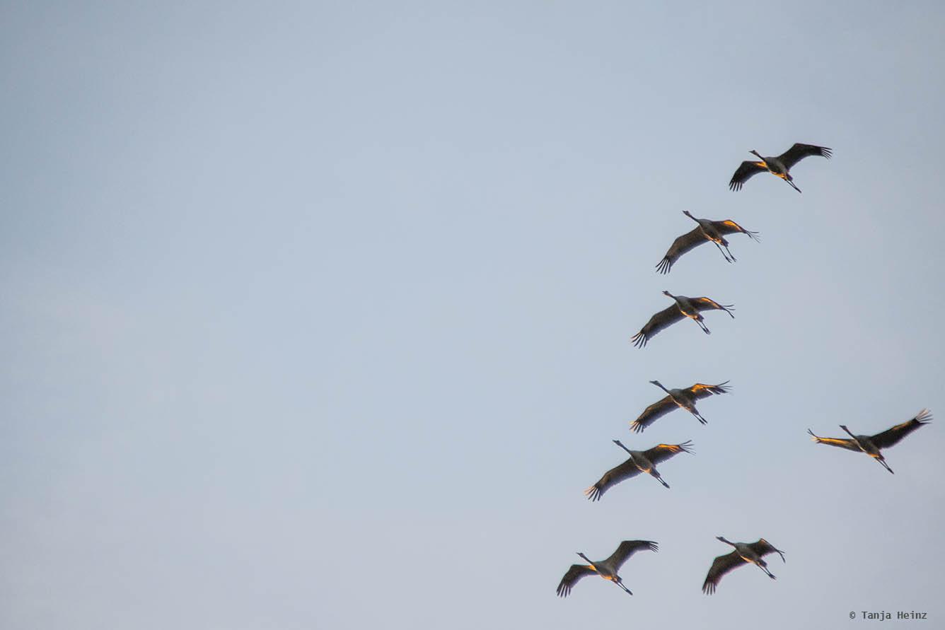 Common cranes crossing Fischland-Darß-Zingst