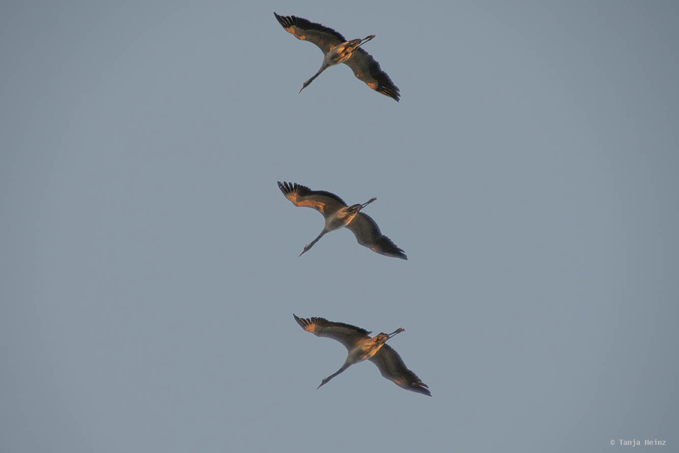 Common cranes above the MS River Star