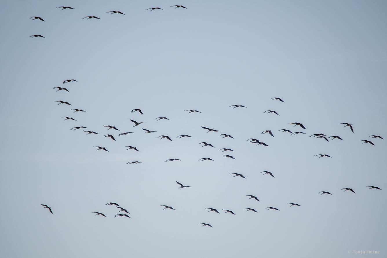 Cranes on Fischland-Darß-Zingst