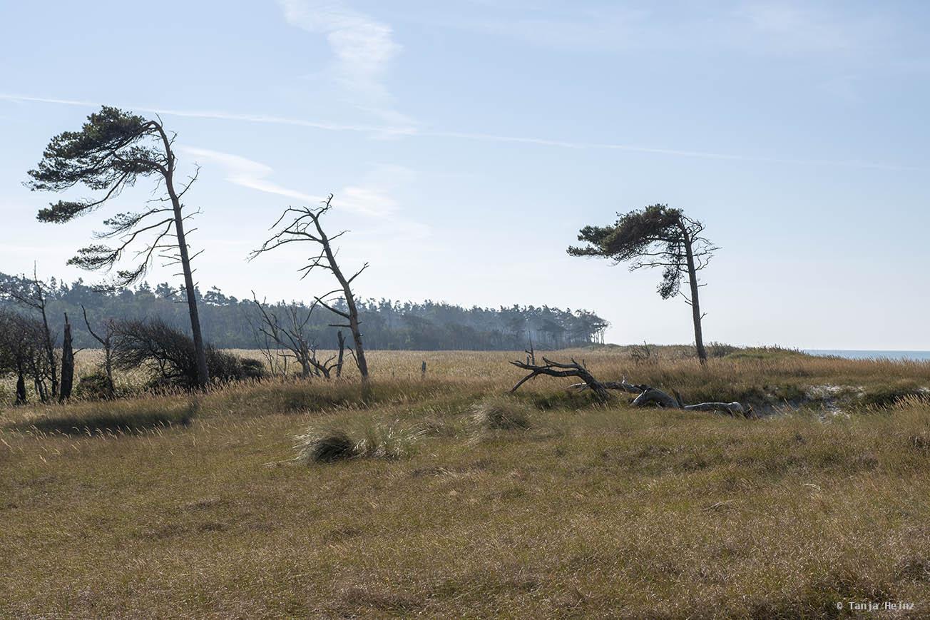 Windflüchter auf Fischland-Darß-Zingst