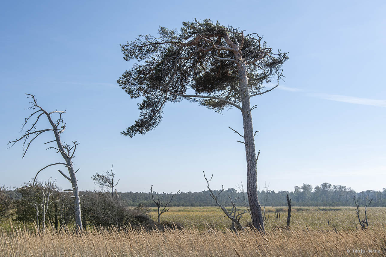Windswept tree at the Weststrand