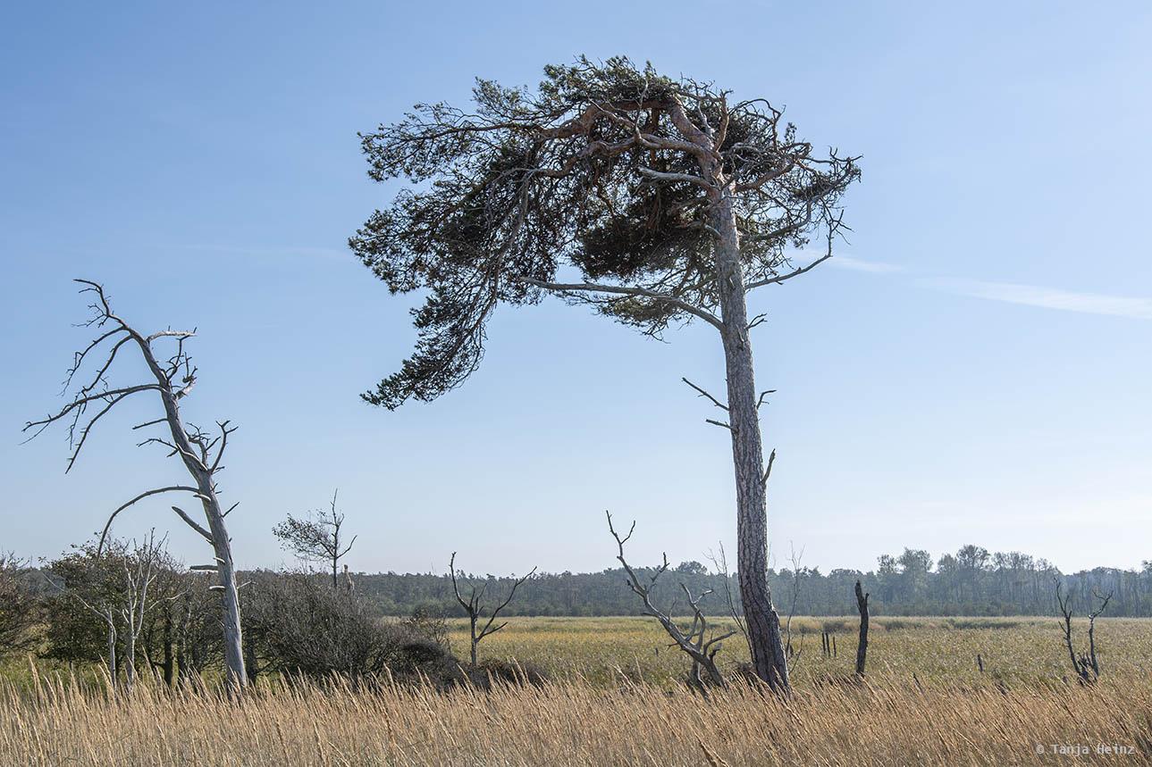Windflüchter am Weststrand