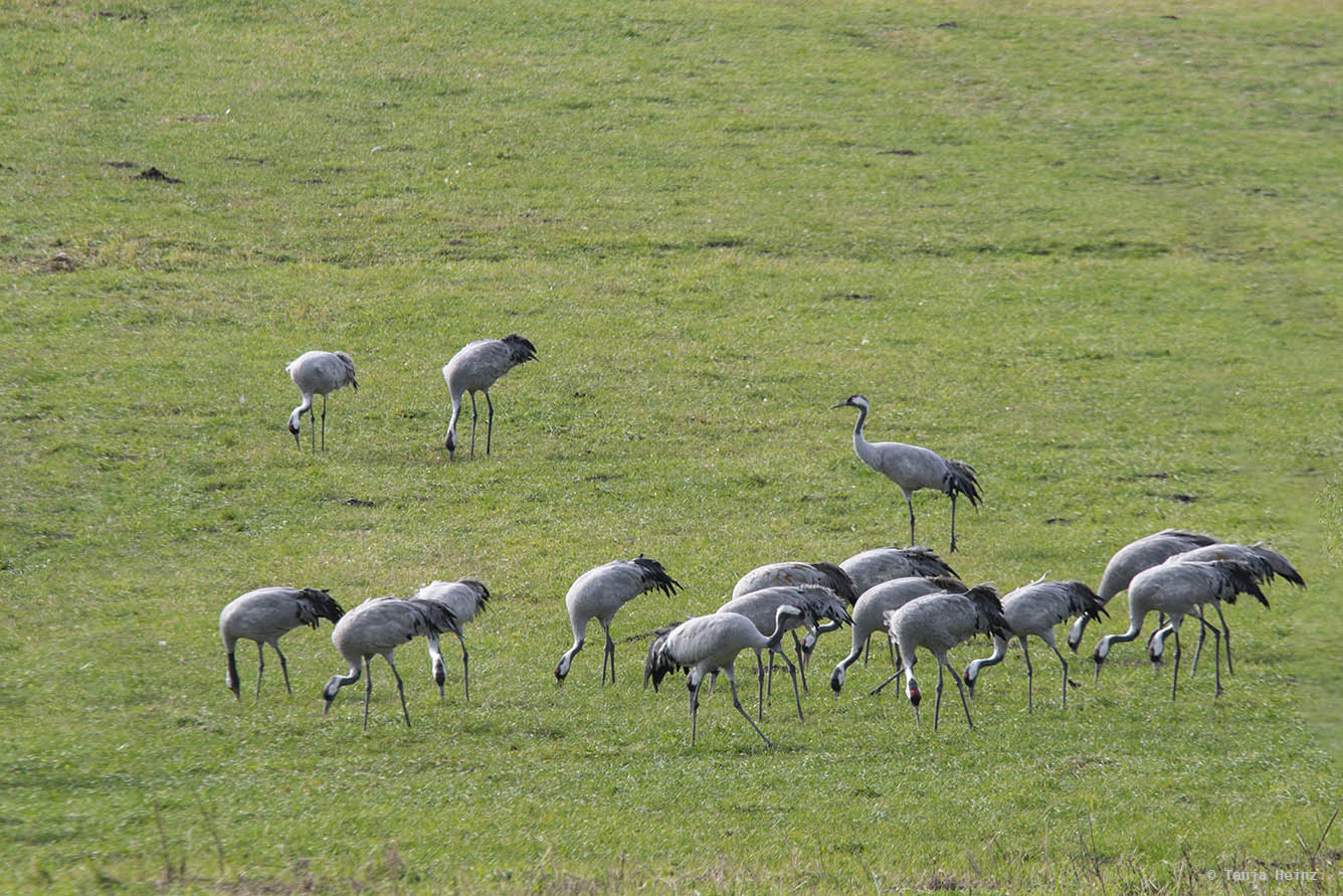 Common cranes at the Kranorama