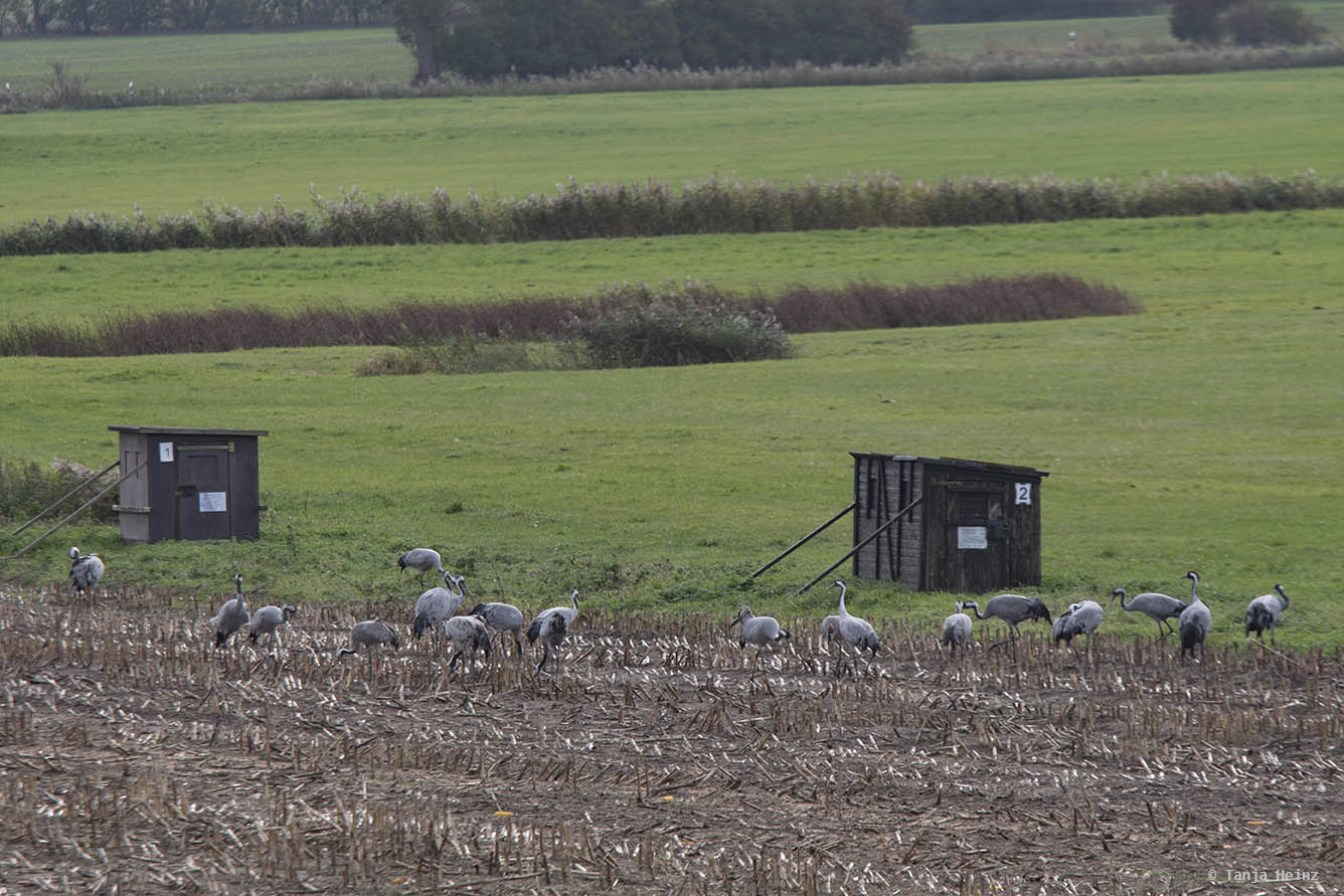 Kraniche auf einem Feld