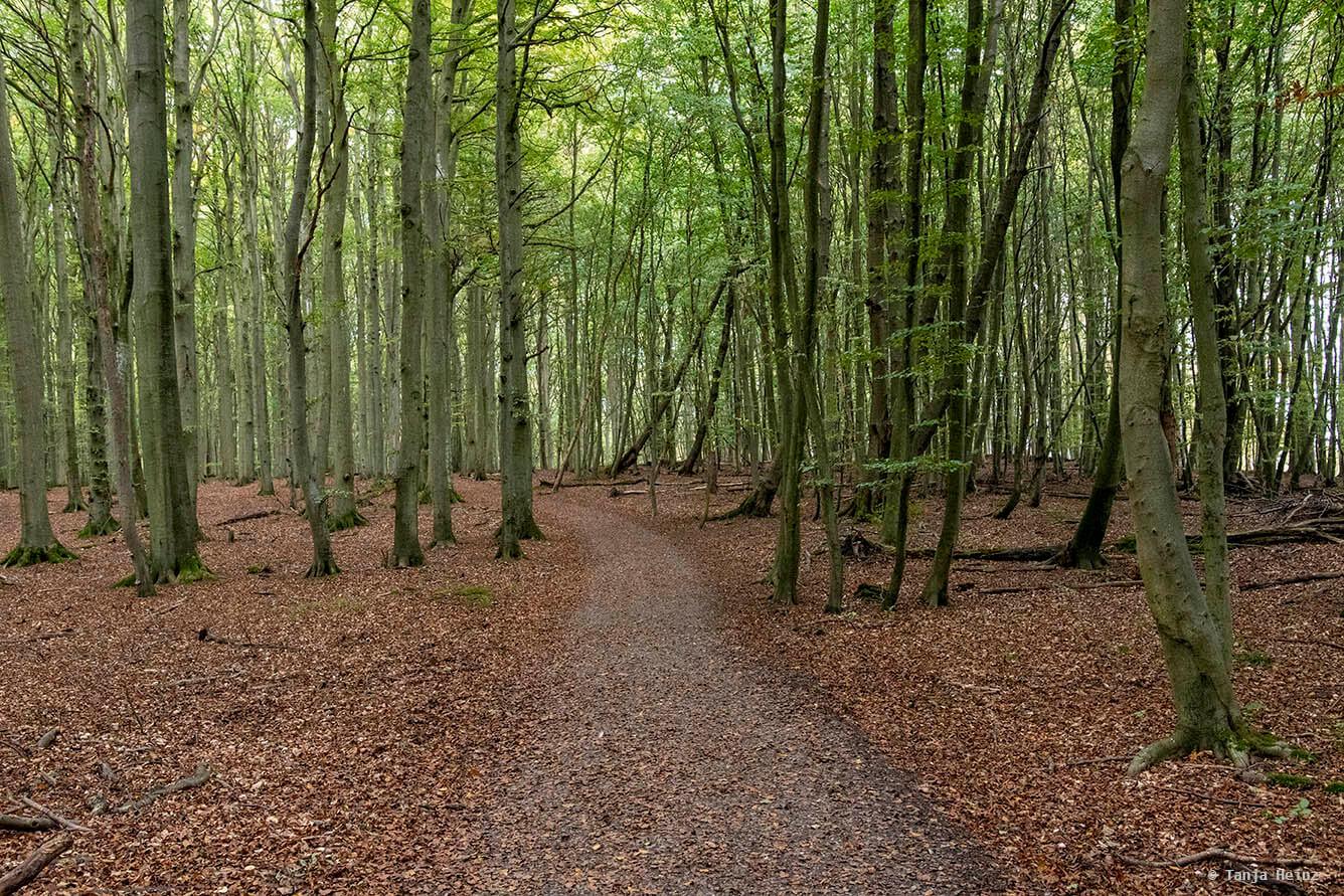 Weg durch die Buchenwälder
