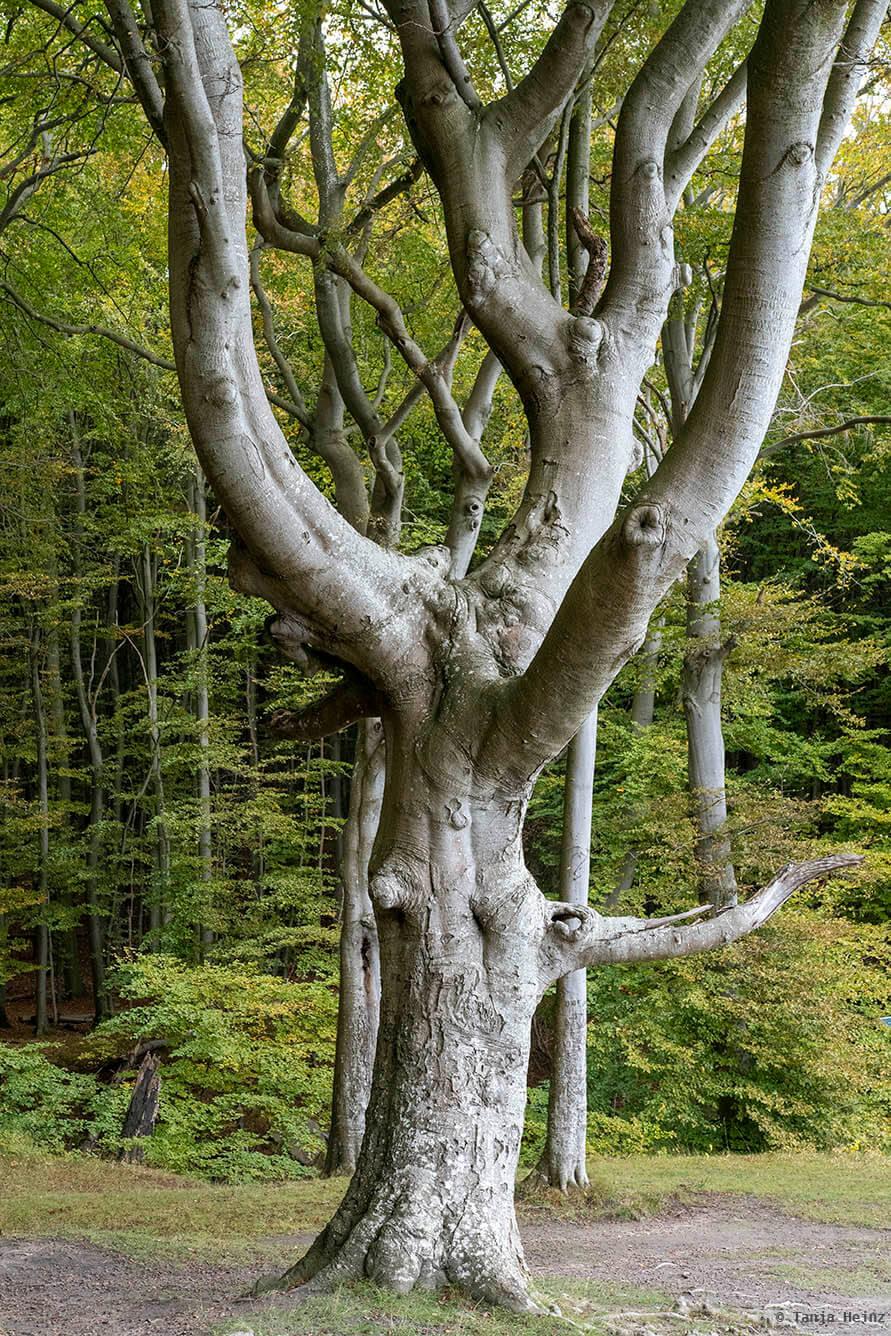 Baum in den Buchenwälder