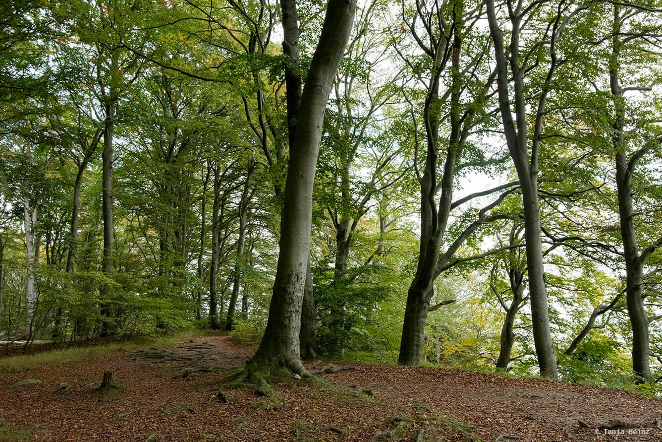 In den Buchenwälder