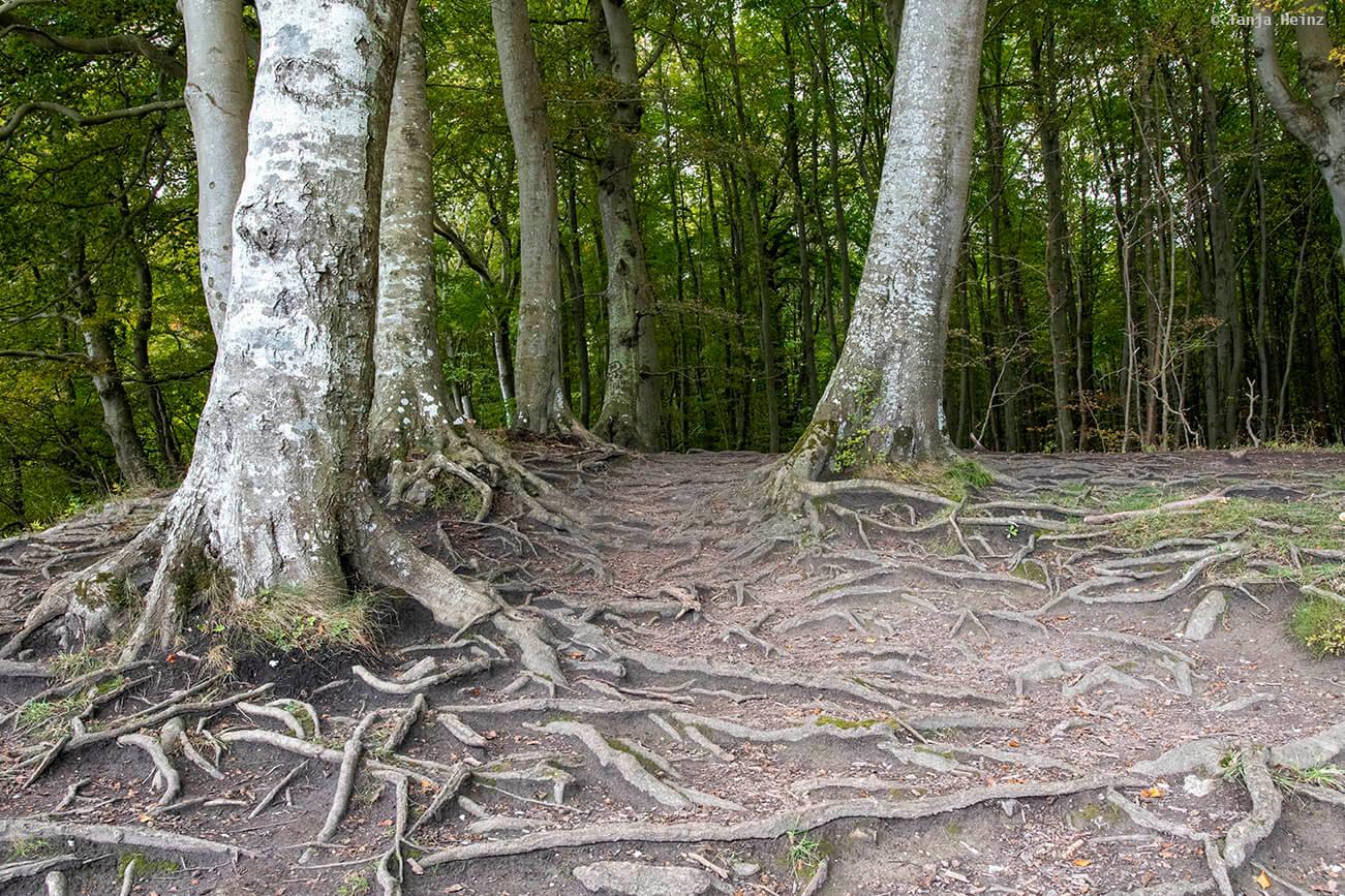 Wurzeln in den Buchenwälder