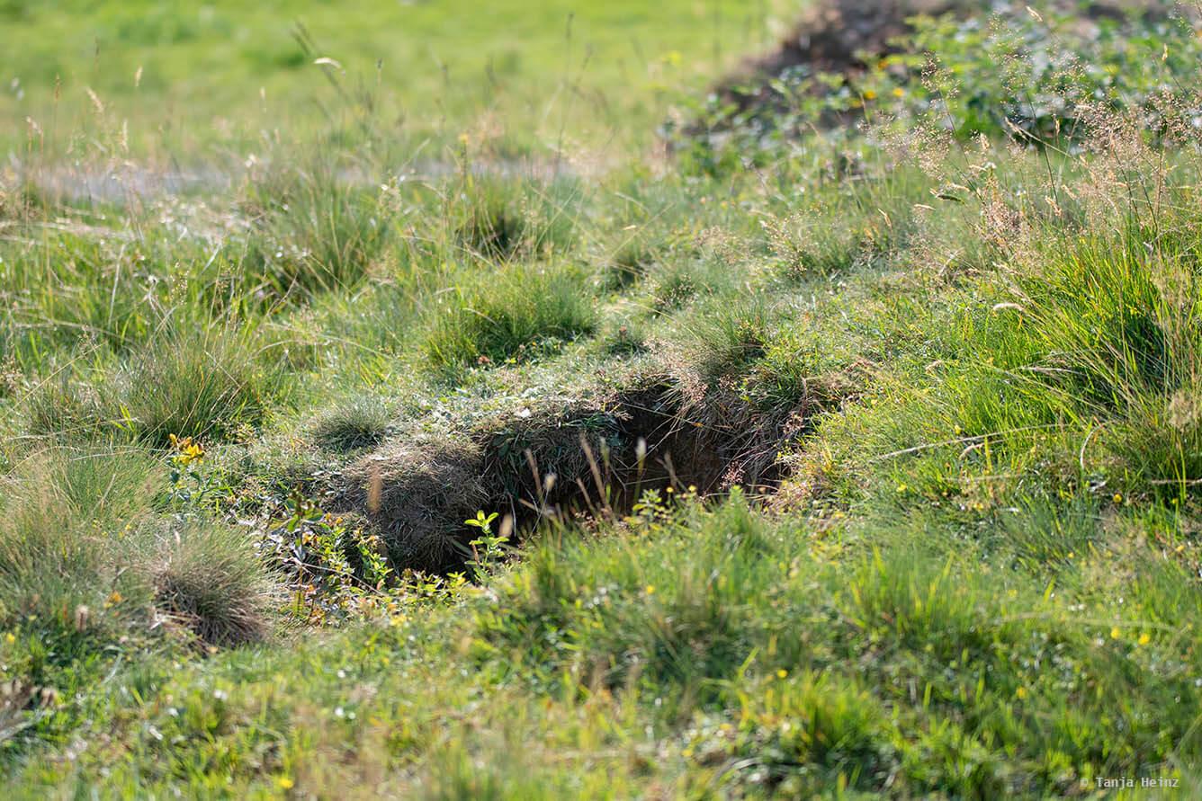 Burrow of alpine marmots