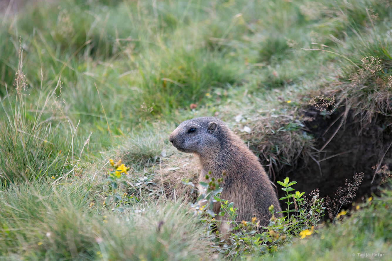 Adventurous alpine marmots