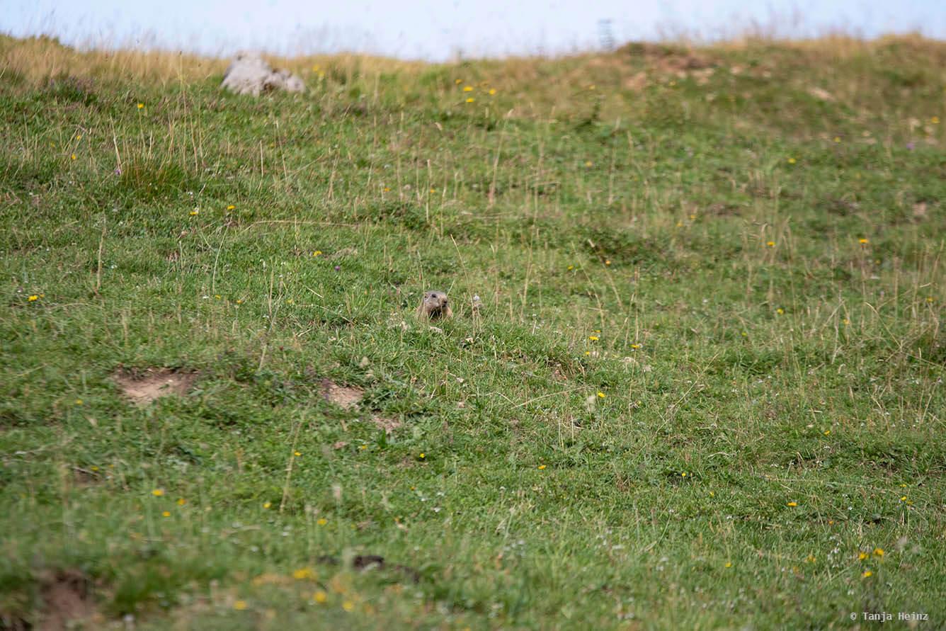 Meadow with alpine marmots