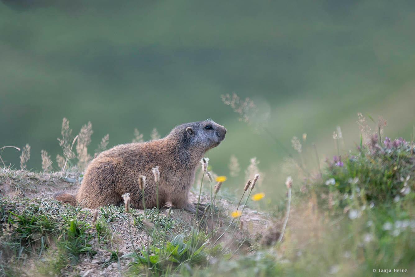 Close-ups of alpine marmots