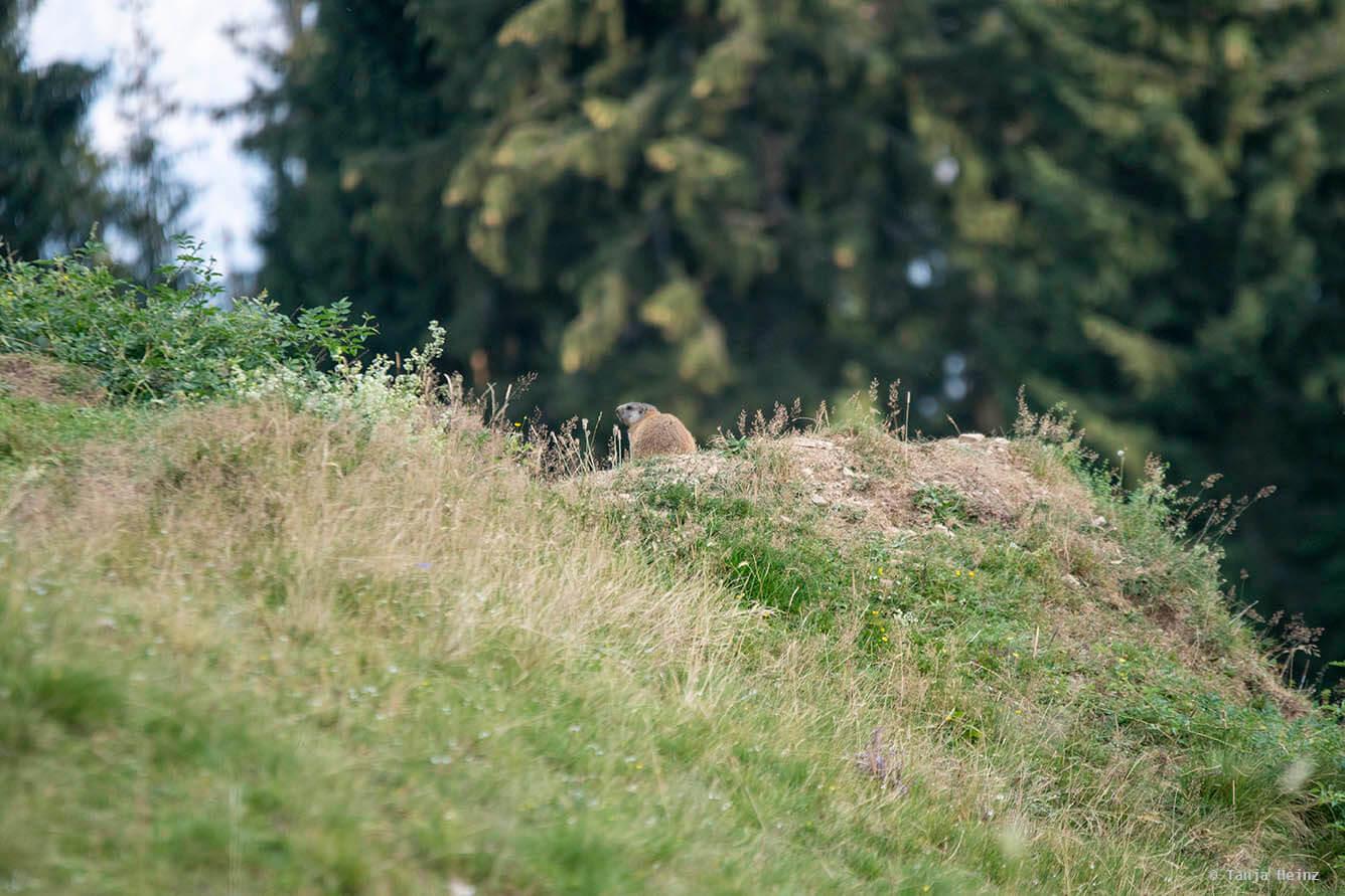 Burrows of alpine marmots