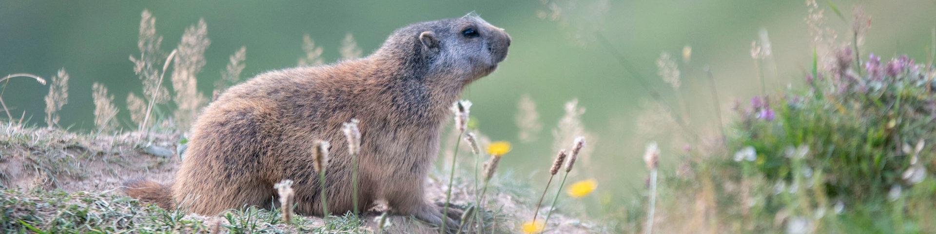 alpine marmots