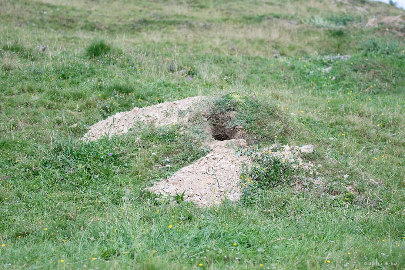 Bau der Murmeltiere
