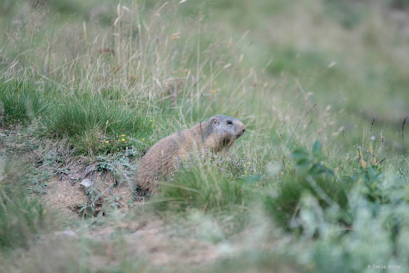 Close-up alpine marmots