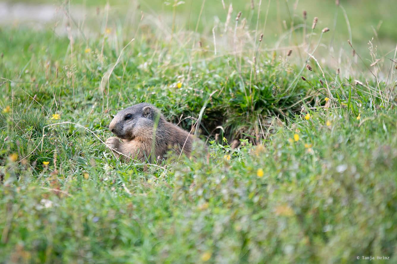 Eating alpine marmots