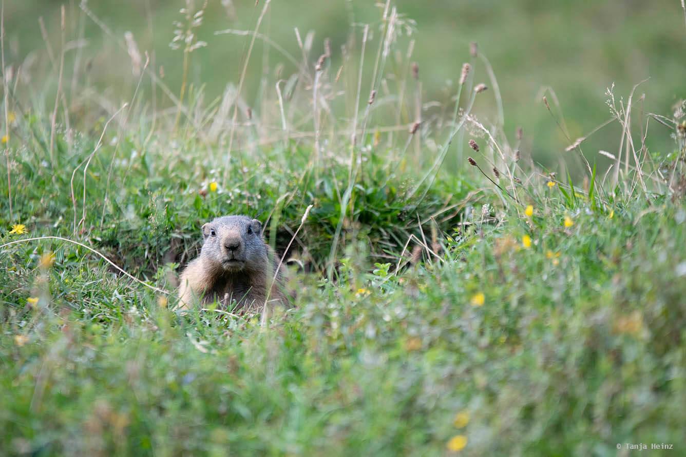 Close-up alpine marmot