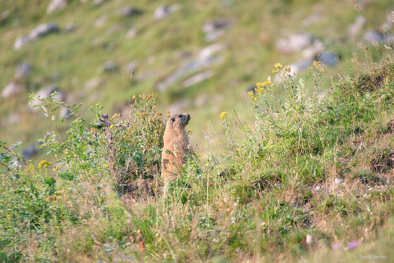Murmeltiere im Berchtesgadener Land