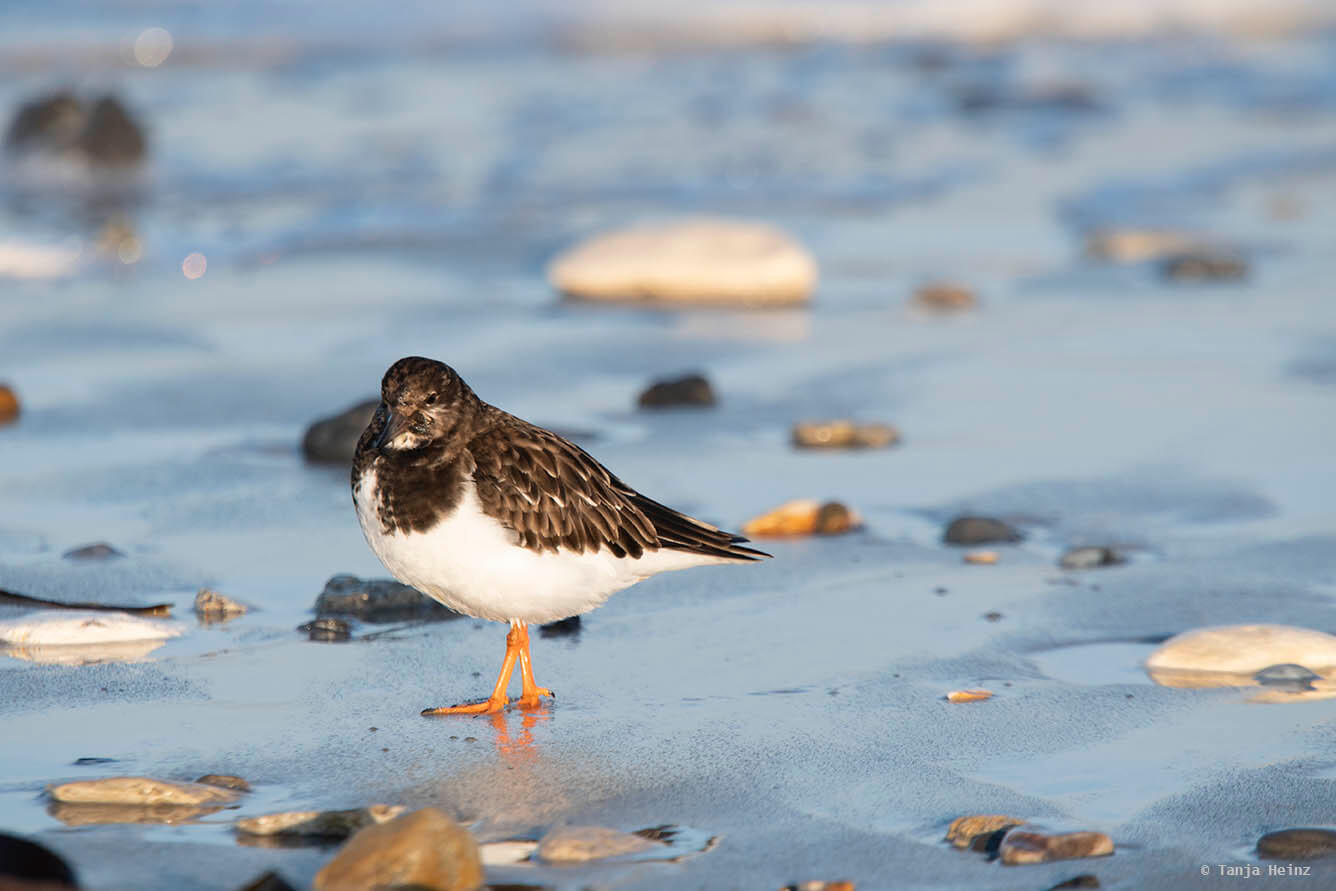 Ruddy turnstone on Heligoland