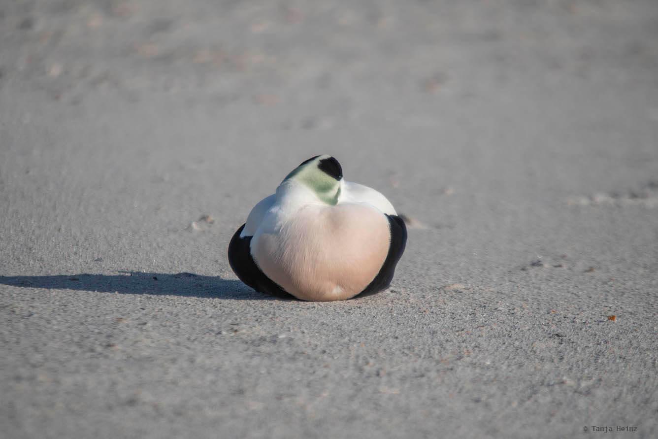 Eiderente auf Helgoland