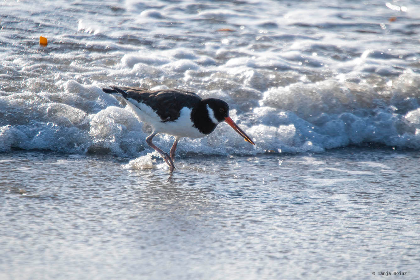 Eurasian oystercatcher on Heligoland