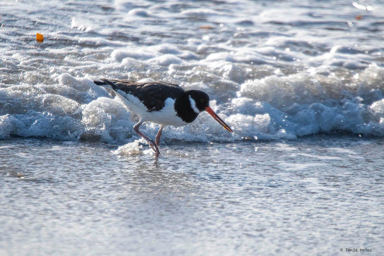 Austernfischer auf Helgoland