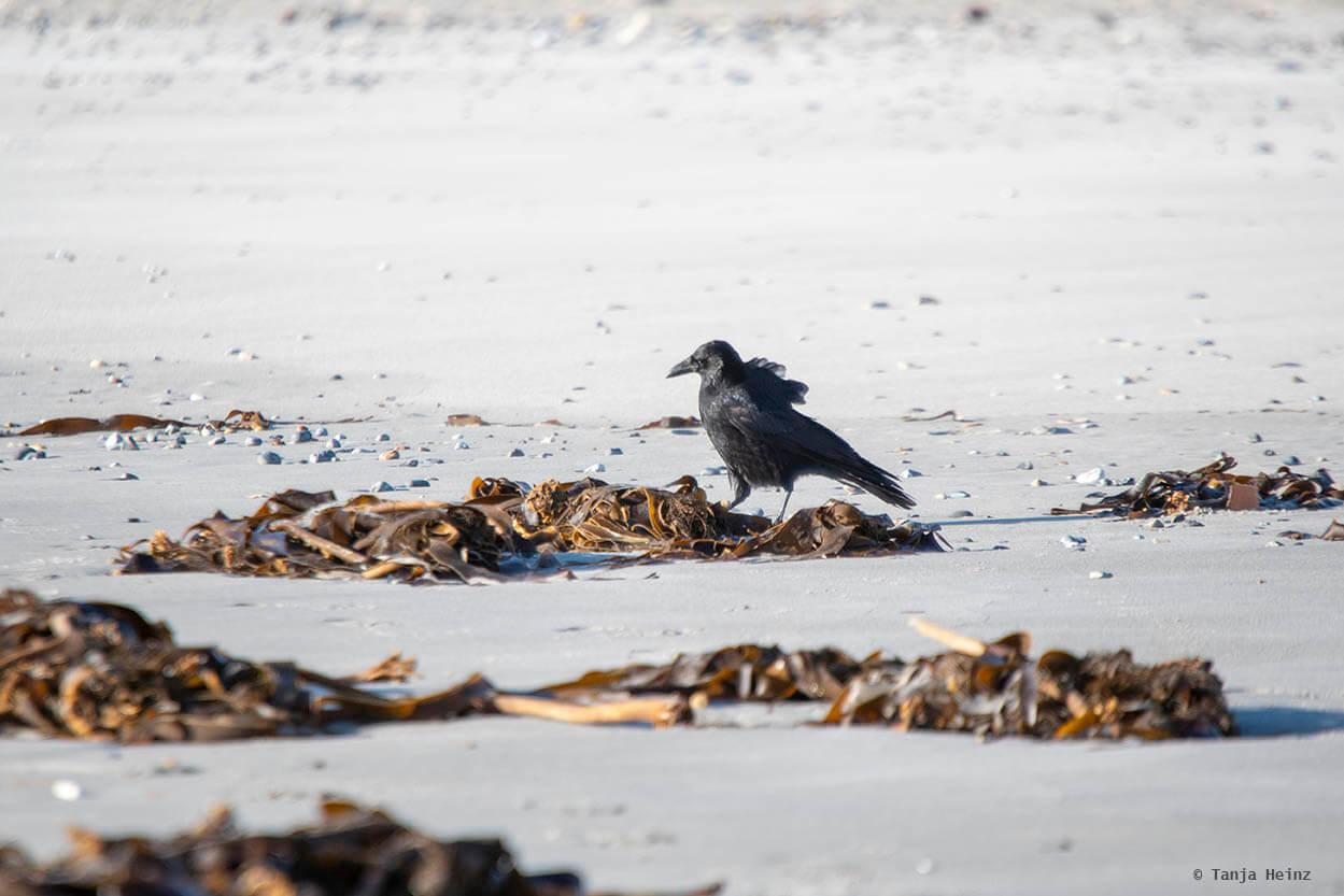 Aaskrähe auf Helgoland