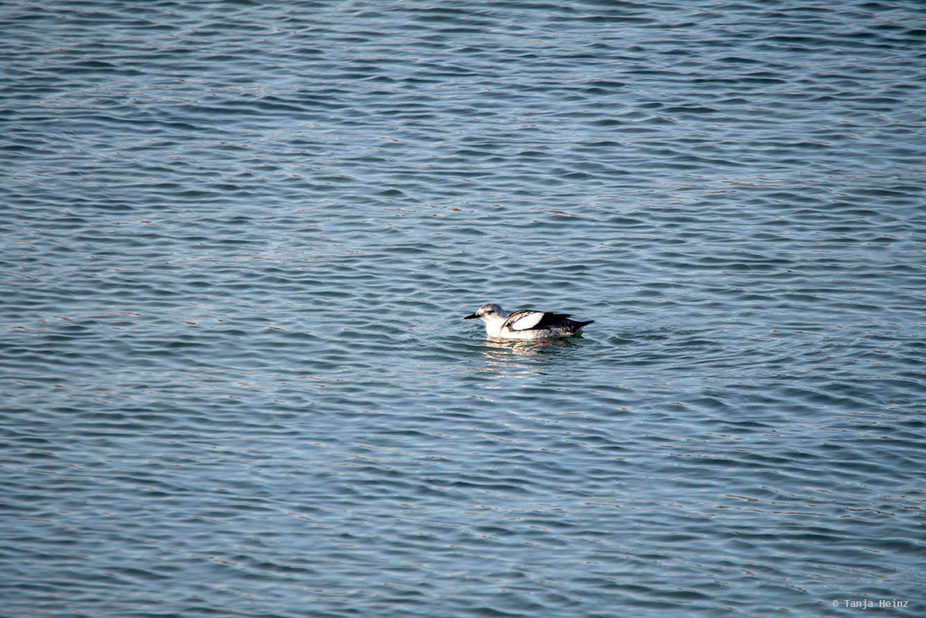 Black guillemot on Heligoland