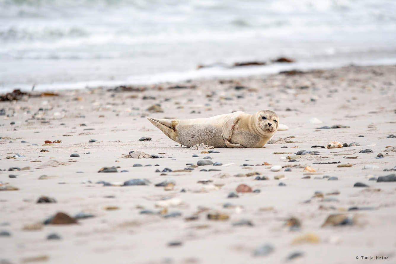 Common seal on Heligoland