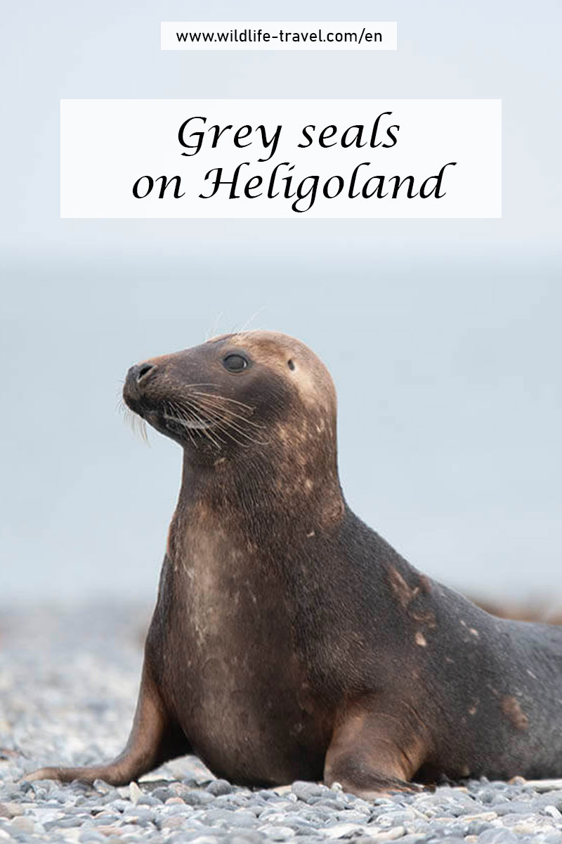 grey seals on Heligoland