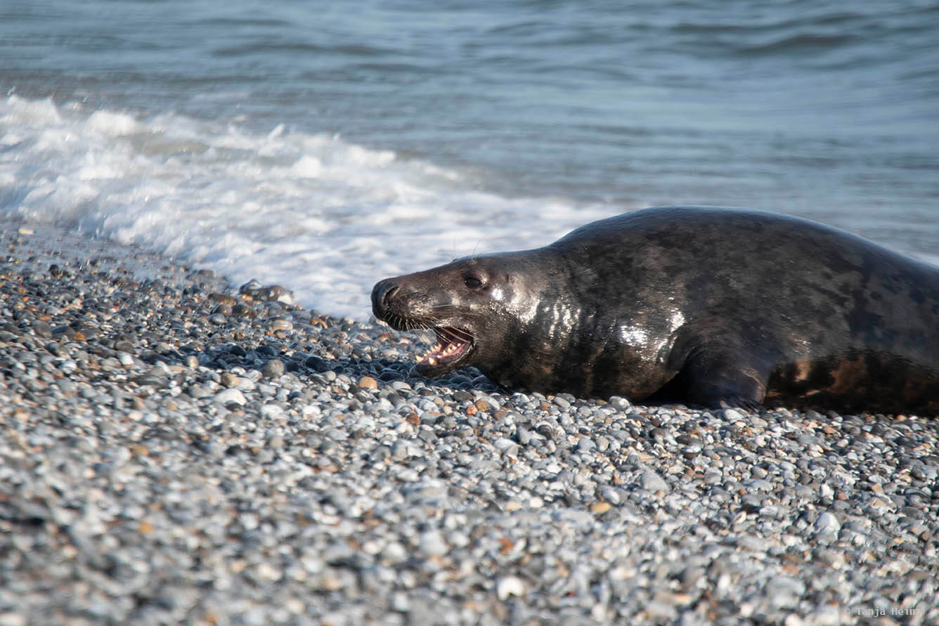 Male grey seal