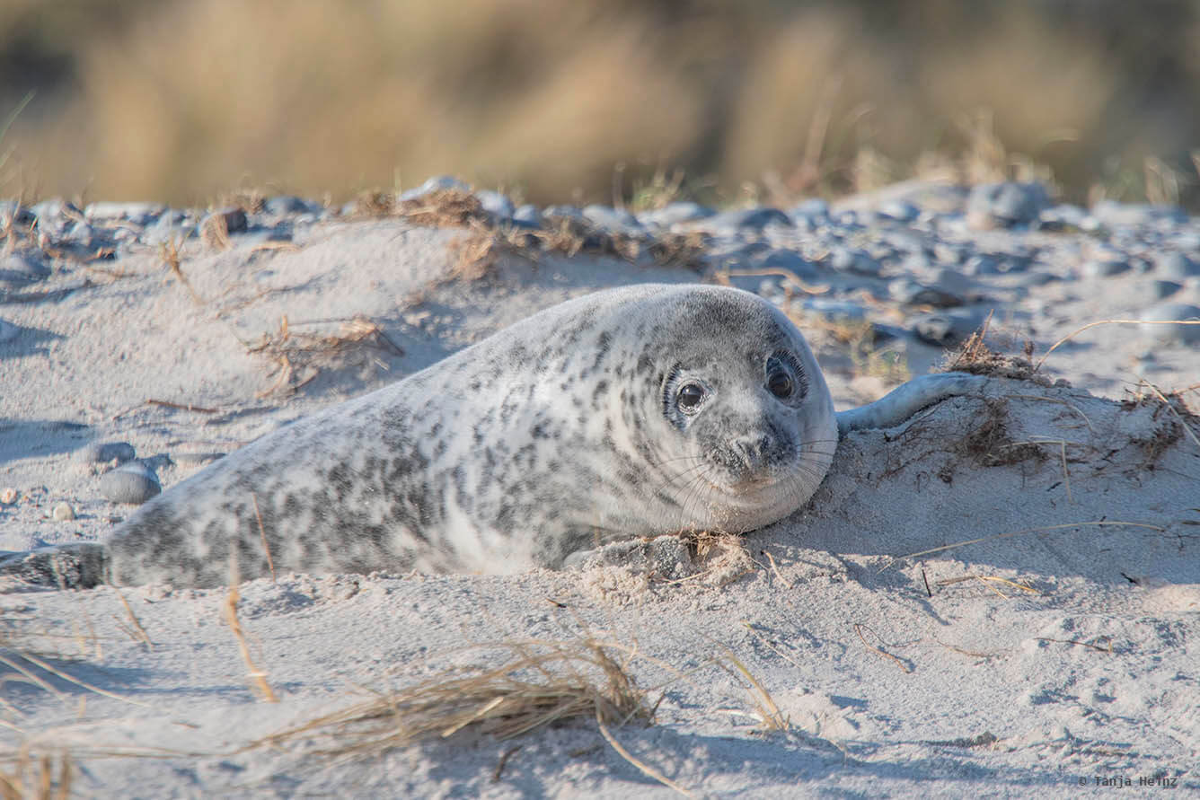 Grey seals on the Düne