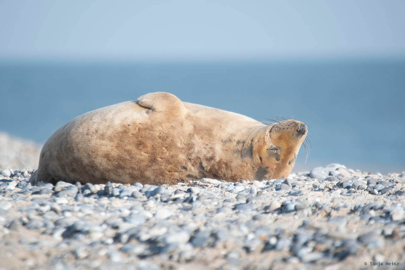 Grey seal sleeping