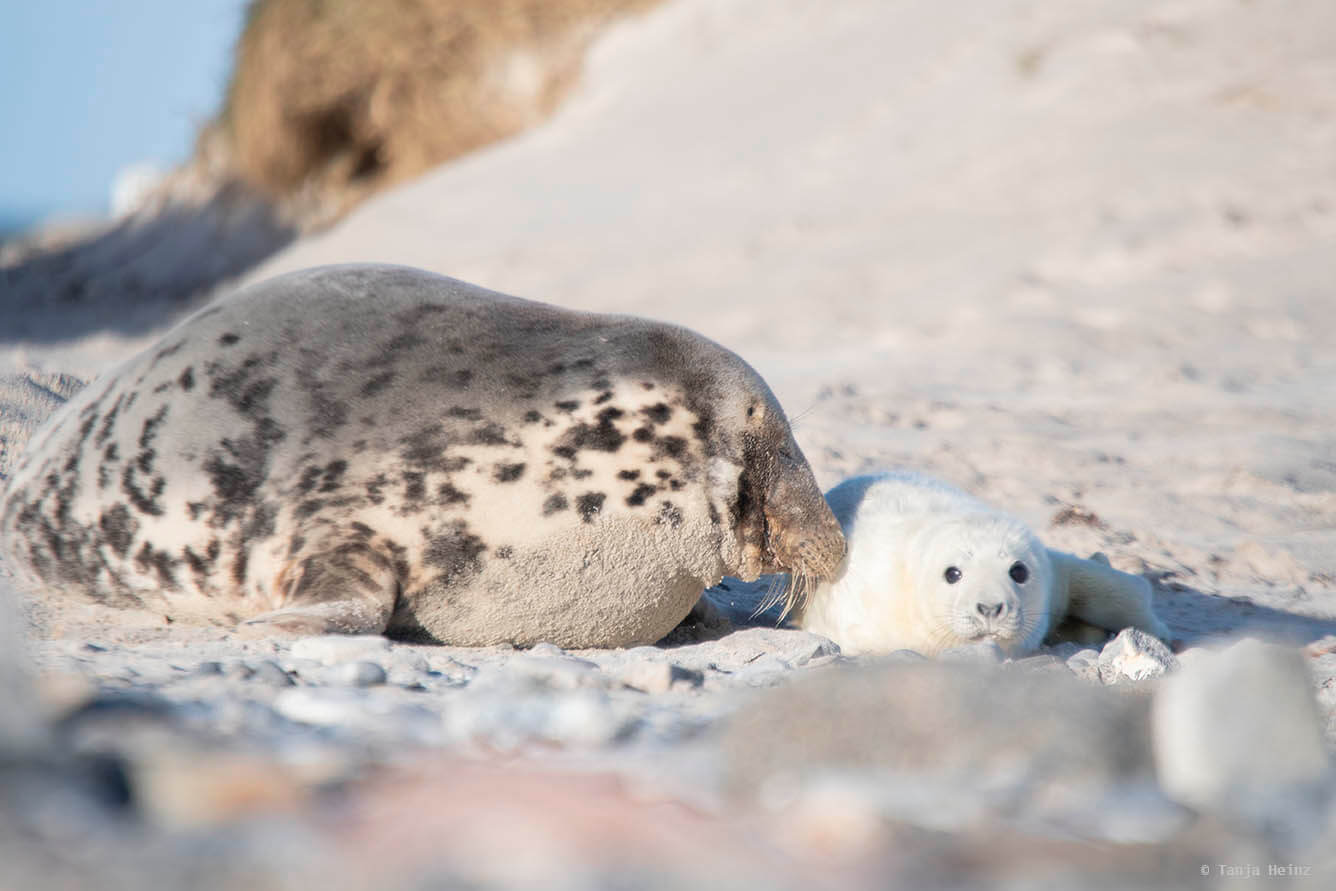 Grey seal mum and her pup
