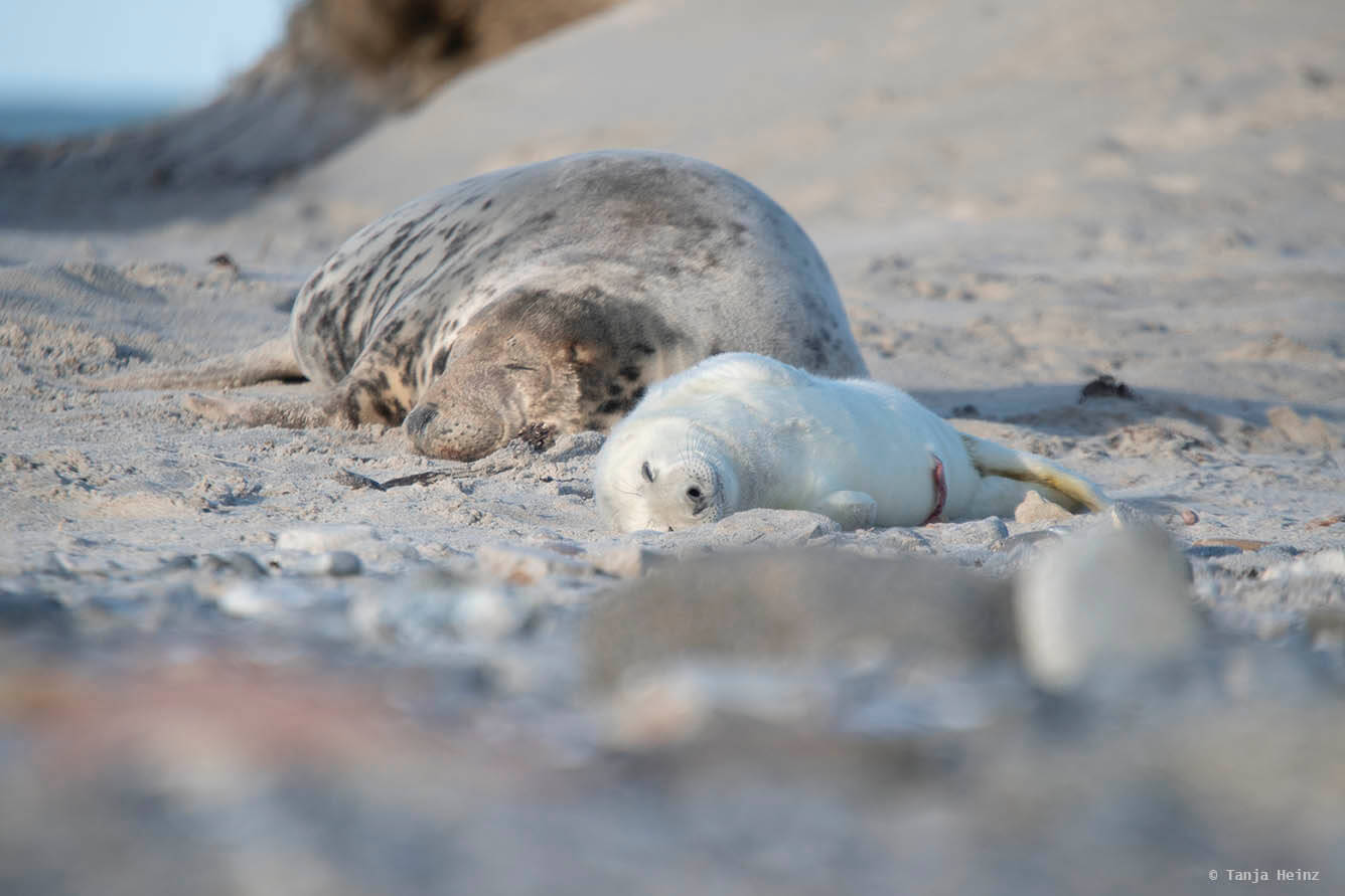 Grey seals sleeping