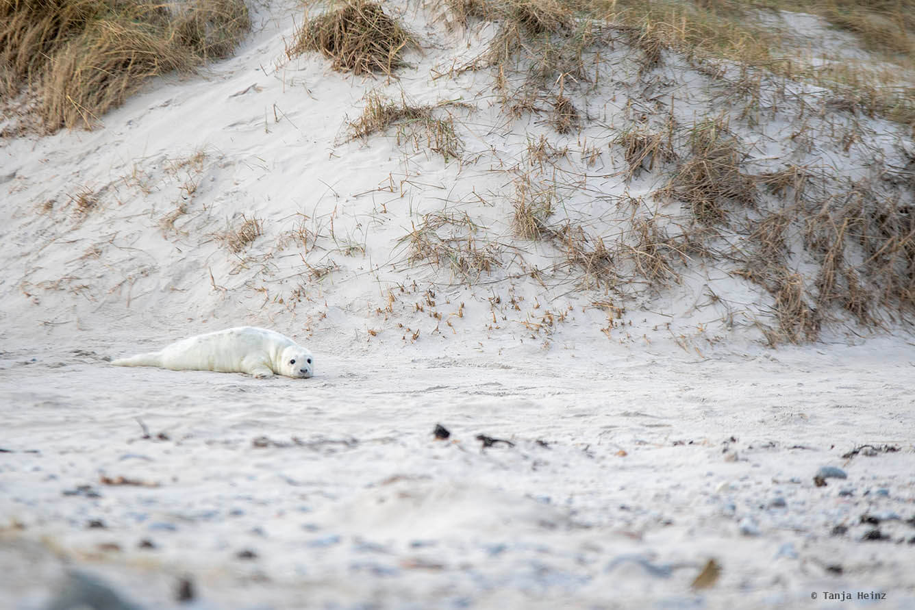 Kegelrobben Baby am Strand