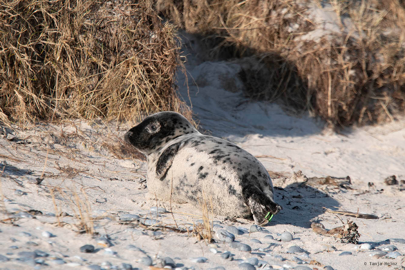 Dark grey seal