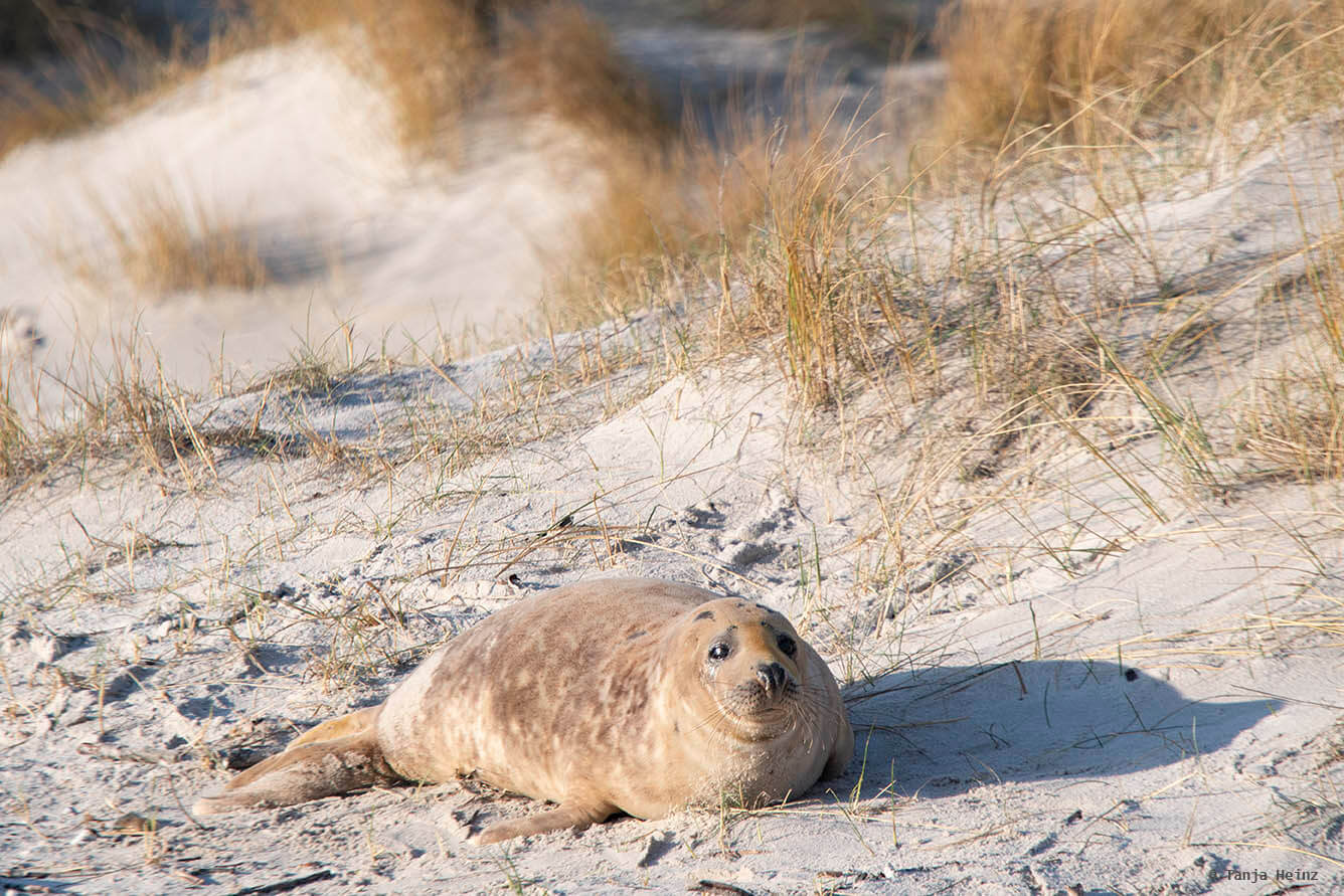 Brown grey seal