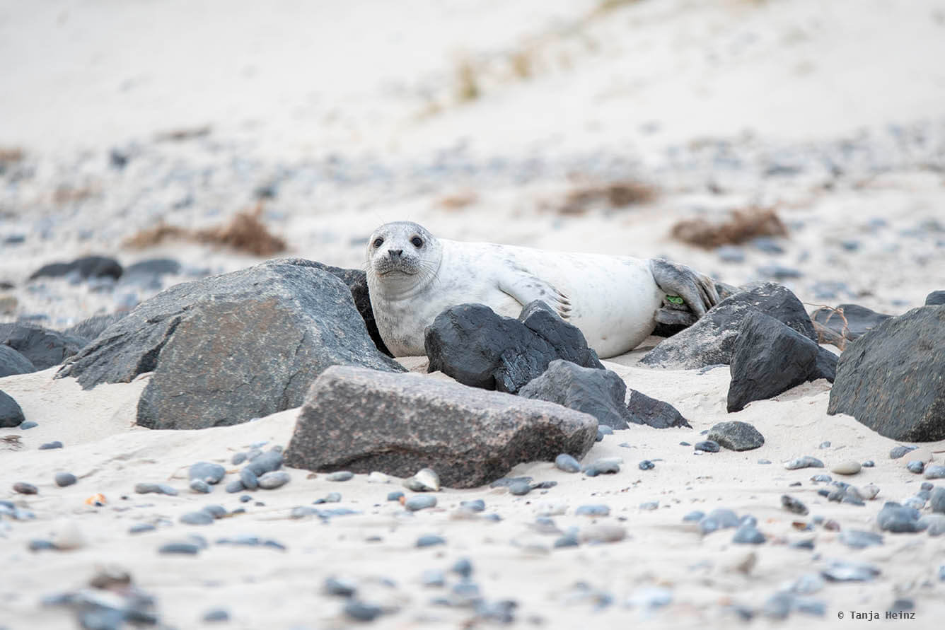 Bright grey seal