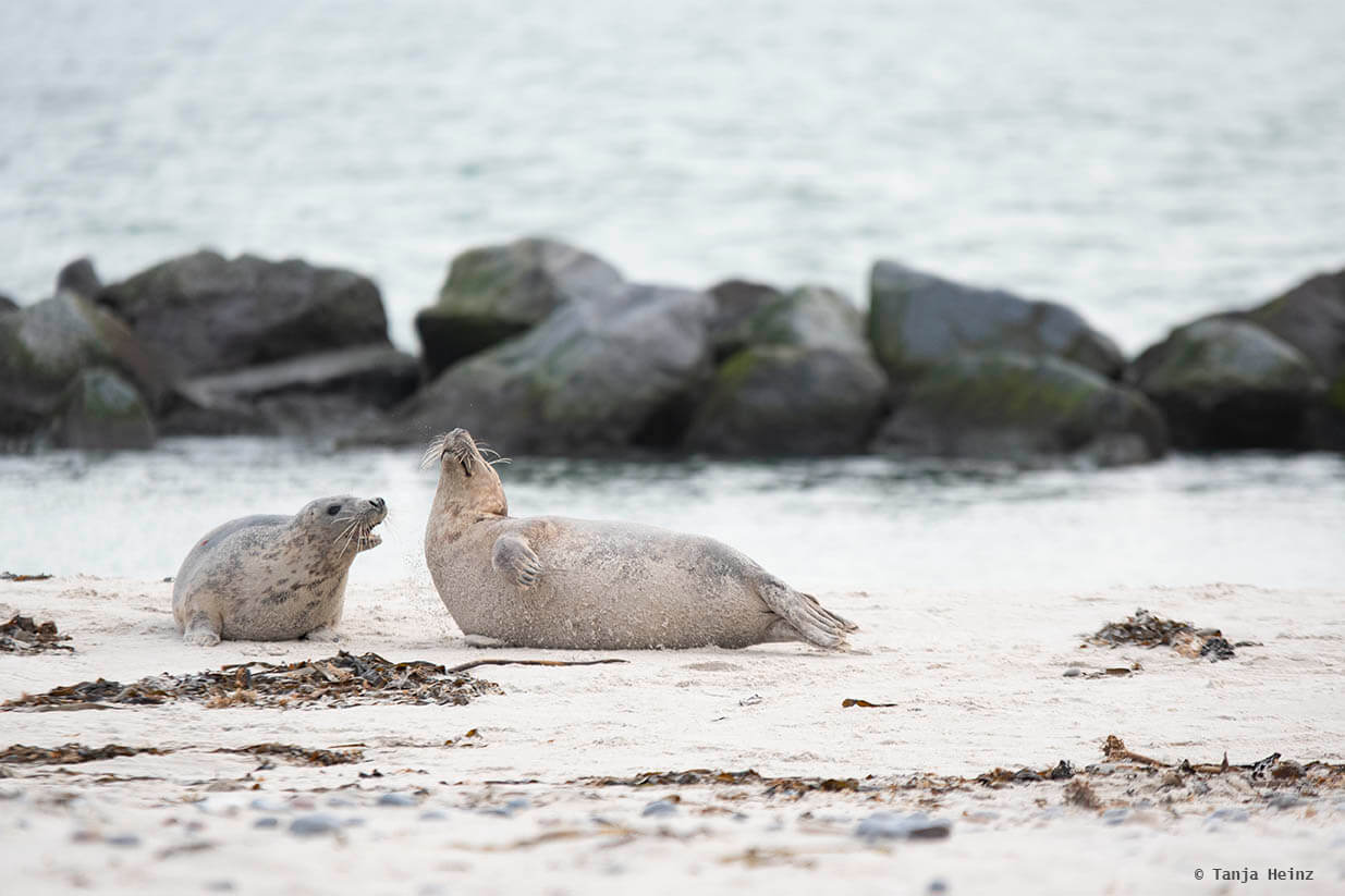 Grey seals playing