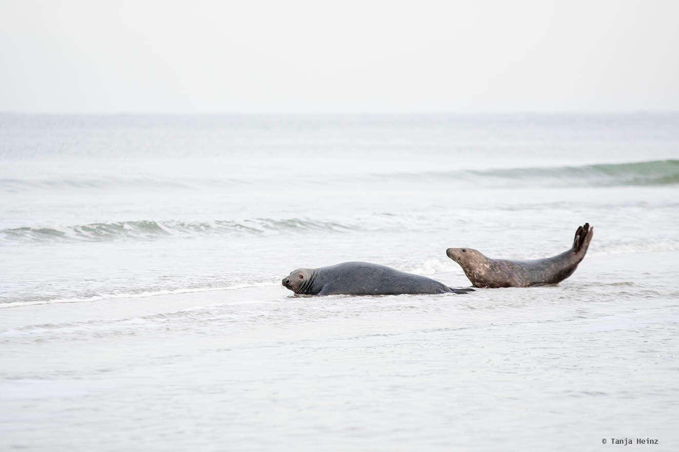 Male and female grey seals