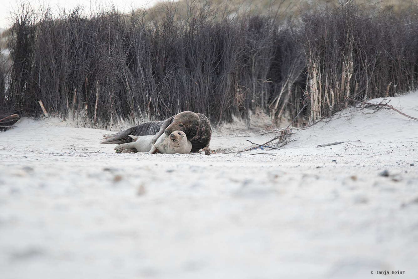 Grey seals mating