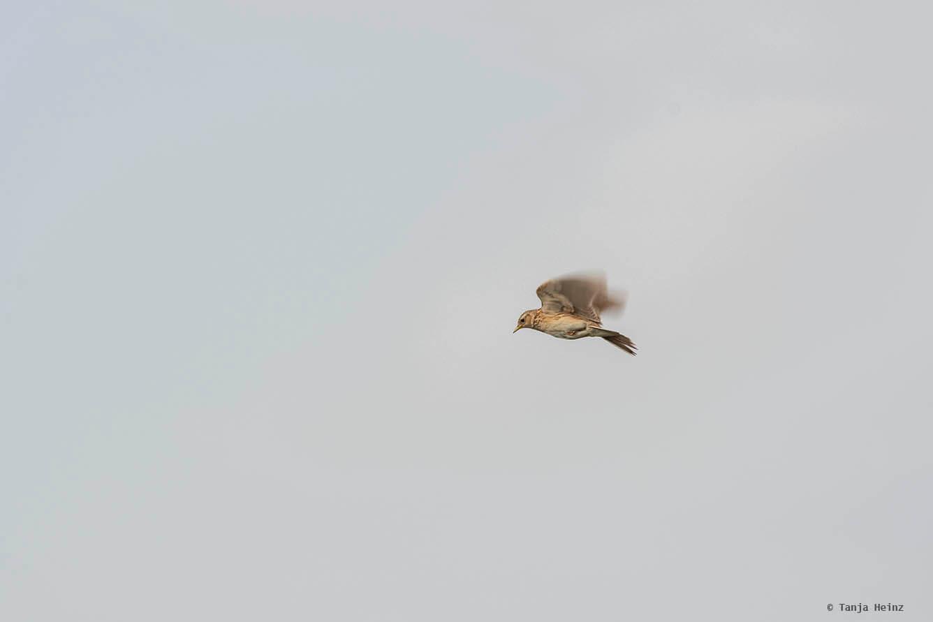 Eurasian skylarks on the Tempelhofer Feld