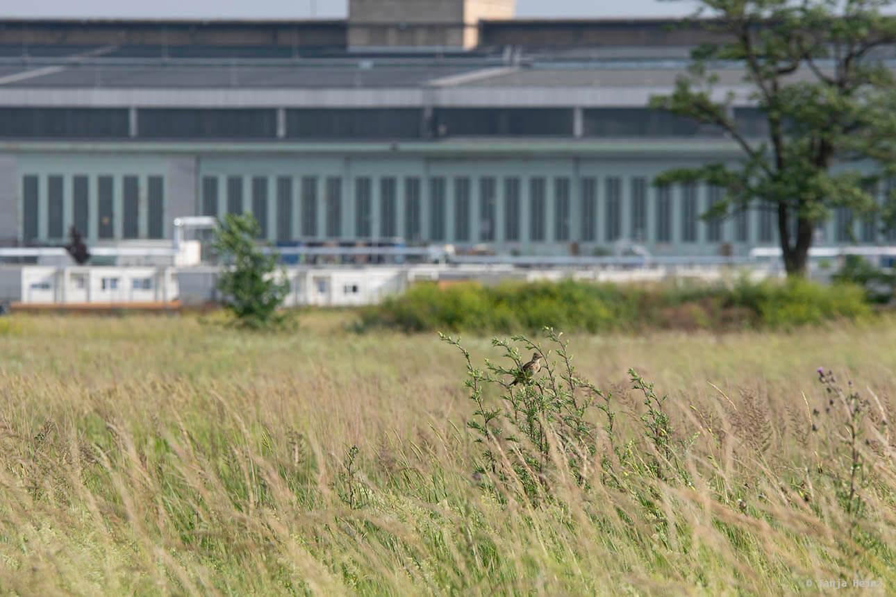Feldlerchen auf dem Tempelhofer Feld