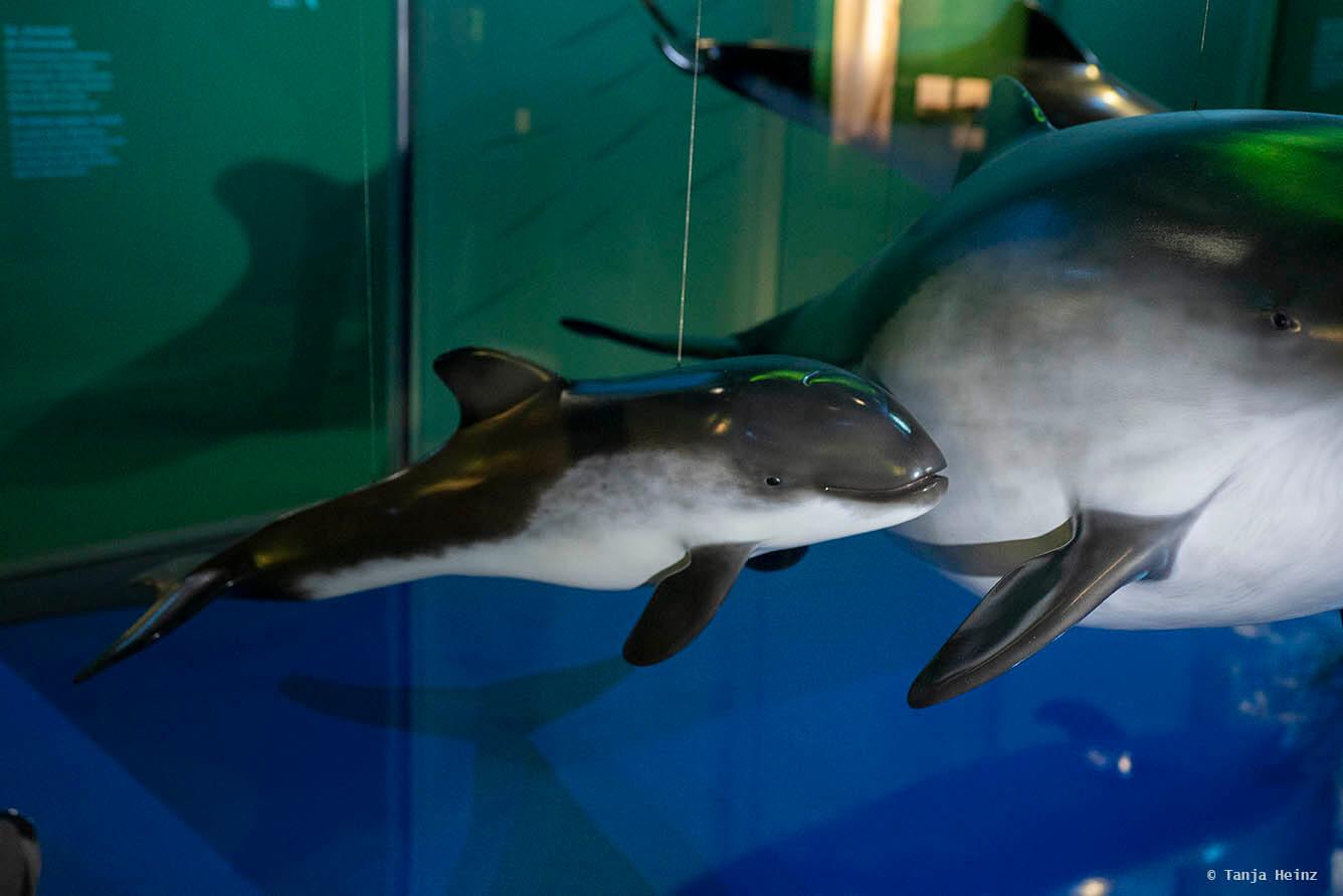 Schweinswale im Ozeaneum