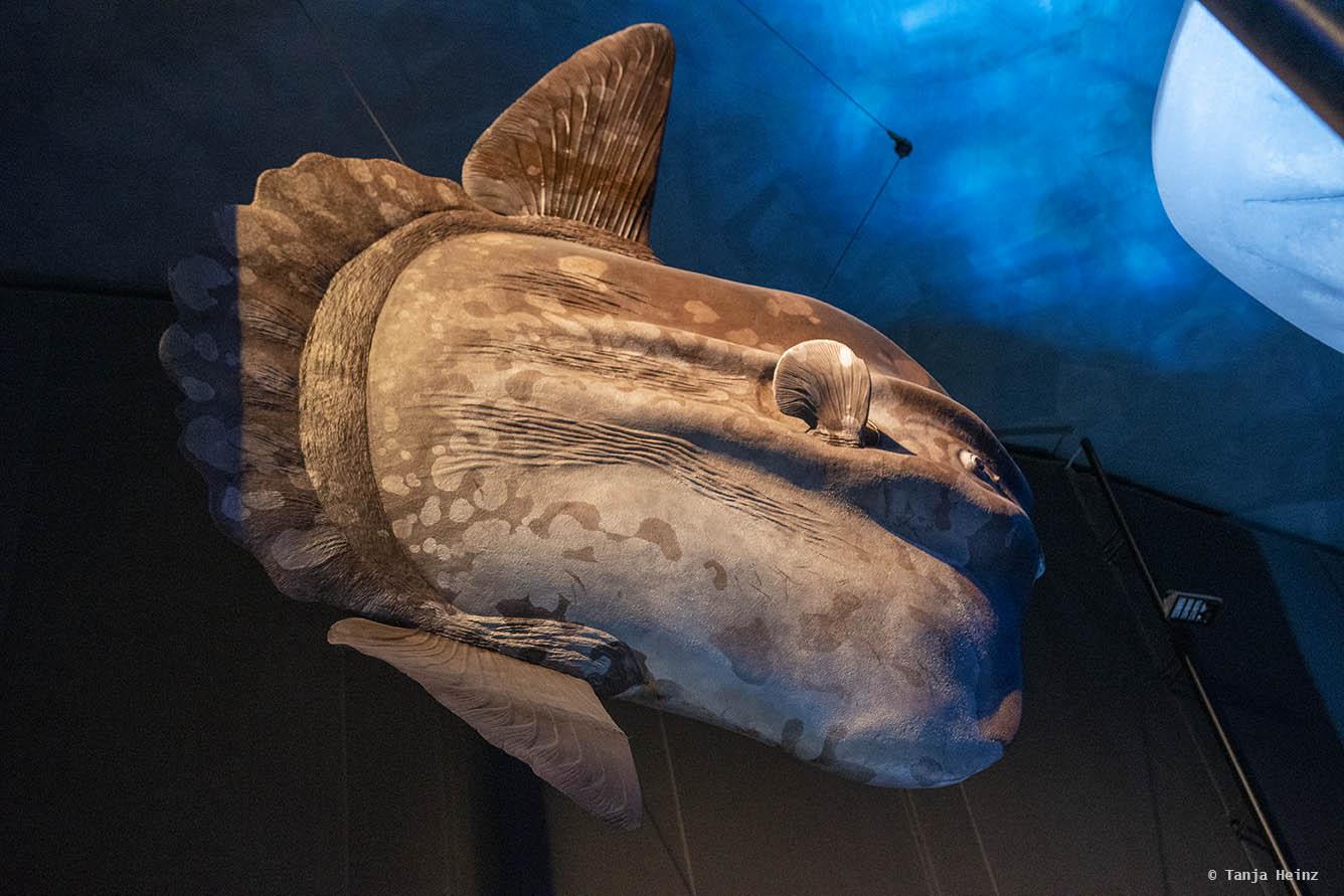 Mondfisch im Ozeaneum