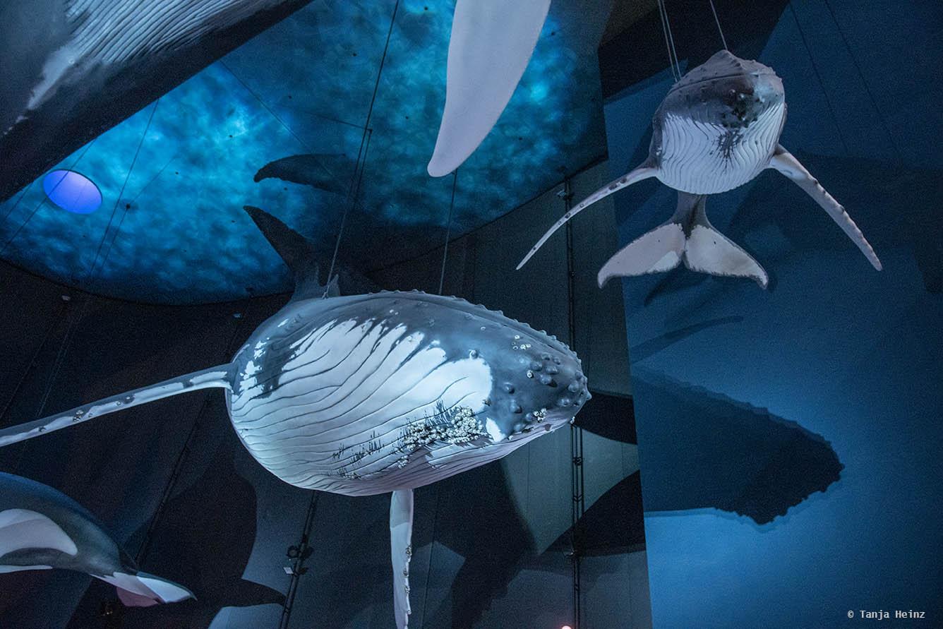 Buckelwale im Ozeaneum